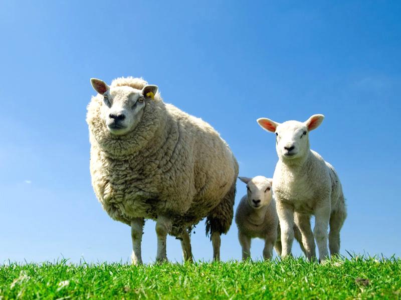 zaanse-schans-schapen